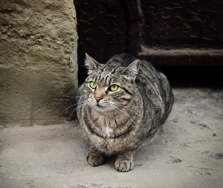 distrustful: Gray cat sits in front of the door and looking up Stock Photo