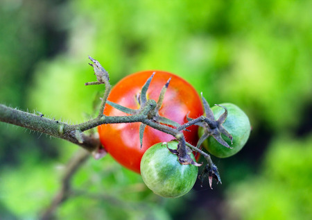 gastronome: Ripe and green tomatoes in vegetable garden, top view Stock Photo