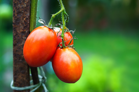 Branch of tomatoes at vegetables garden in summer. With copyspace.