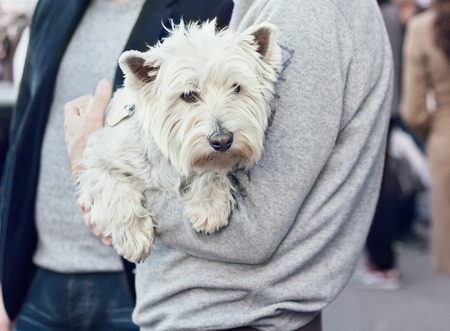 westie: Cute West Highland White Terrier on hands of a man, walking in public place