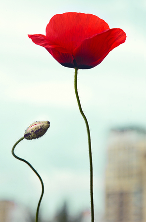plantlet: Red poppy flower with bud over city, concept of conservation of nature