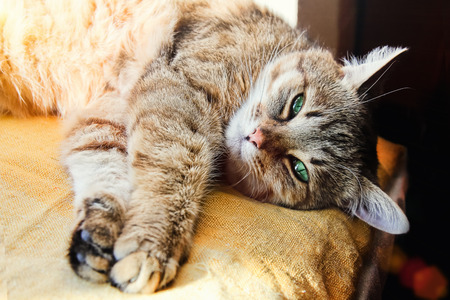 likeable: Beautiful domestic cat stretches its paws looking at the camera indoor