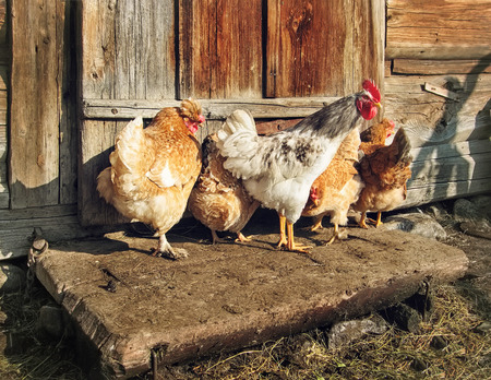 hormone  male: Free Range Cock and Hens outdoors, rural scene. Stock Photo