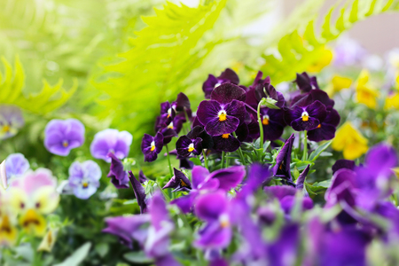 Flowerbed of violet viola tricolor or kiss-me-quick (heart-ease flowers) in summer, beauty in nature