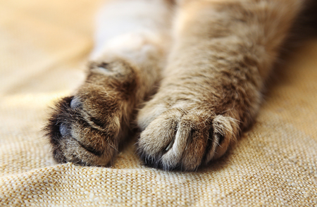 retractable: Stretched cats paws with retractable claws close-up