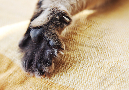 nursling: Stretched cats paw with claws close-up
