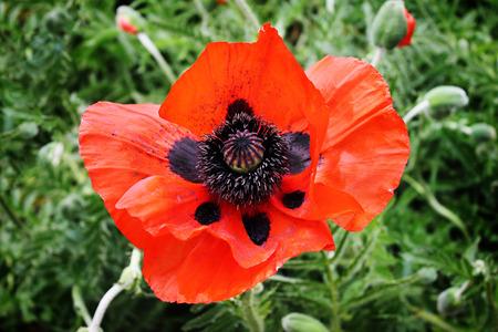 Beautiful big red poppy in a field