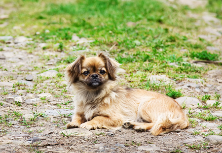 Portrait Of Pekingese Dog On A Grass Outdoor. Stock Photo