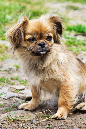 Portrait Of Pekingese Dog On A Grass Outdoor