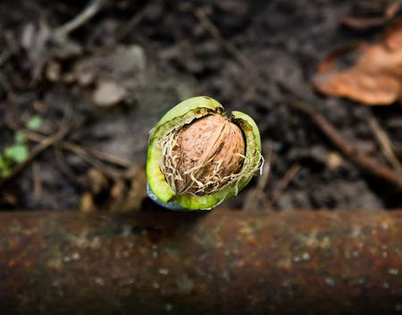 La nuez madura (Juglans regia) en el casco verde se derrumbó desde el árbol, Vista superior. Foto de archivo - 83286684