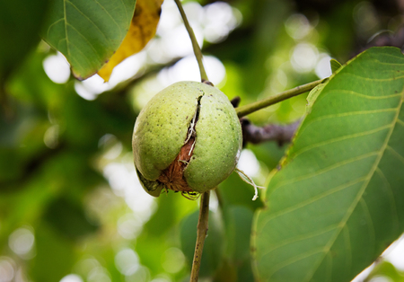 Ripe Nut In Green Hull On A Walnut Tree, Autumn Harvest