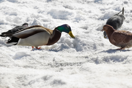 Mallard duck with pigeons eat a bread crumbs near frozen river in winter time. Stock Photo