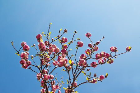 Flowers of magnolia tree over blue sky in springtime. Stock Photo