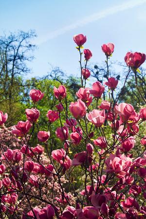 Flowers of magnolia tree over blue sky in garden. Springtime scene.