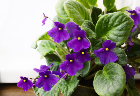 Potted African Violet (Saintpaulia) on window sill, houseplants inside.
