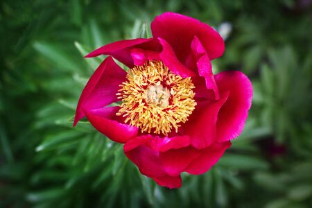 Close-up of one purple blooming peony in spring garden.