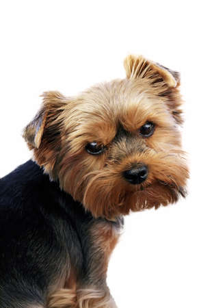 Close-up portrait of funny Yorkshire terrier indoor, isolated on white background.