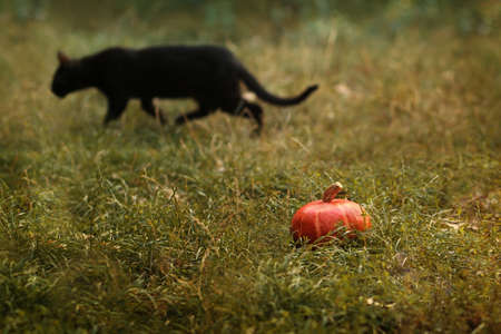 Pumpkin and defocused black cat on background outdoors. Halloween scene.