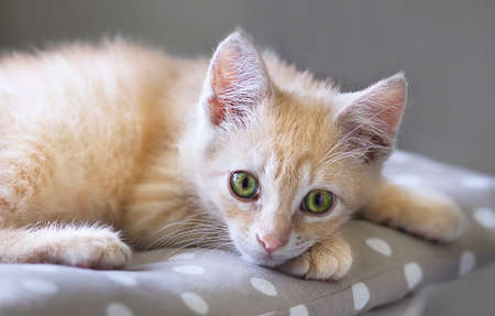 Portrait of cute little red kitten are laying on a pillow, pet at home.