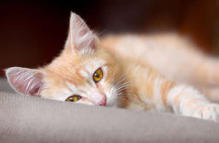 Cute little red kitten are laying on a pillow and looking at camera. Stock Photo