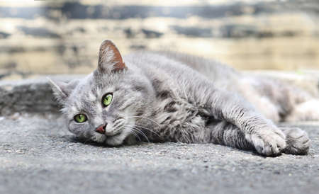 Close-up portrait of beautiful gray cat with green eyes lying on the ground outdoors.