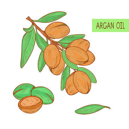 Argan with leaves sketch on a white background a colored picture.