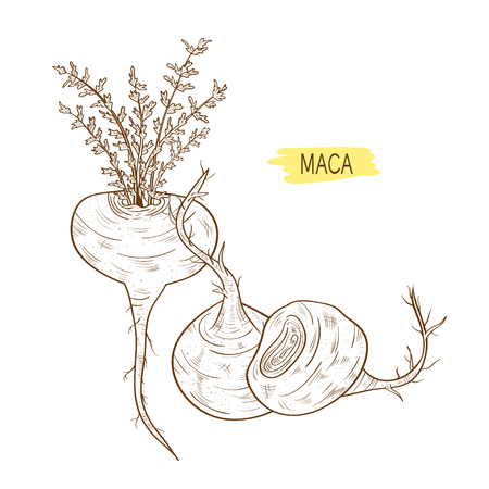 Maca. Leaves, root. fetus. Sketch. On a white background black ink.