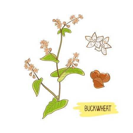 Buckwheat, grain, flower, leaves and stem. Çizim