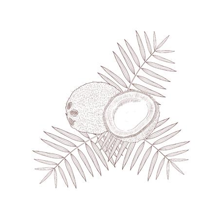 coconut sketch on white background, Vector illustration. Illustration