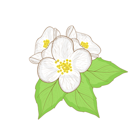 Jasmine flower sketch in doodle, Colorful drawing on a white background. Иллюстрация