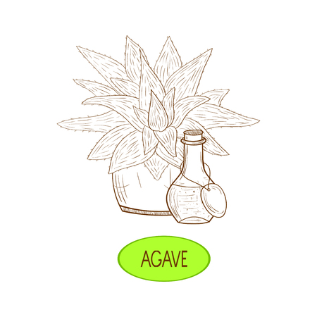Aloe and agave Sketch On a white background. Illustration