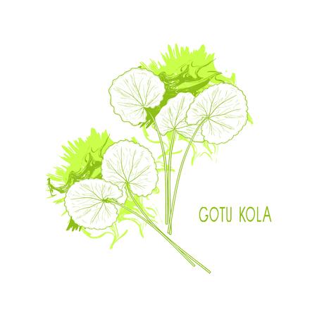 Gotu kola plant, leaves sketch in color green. Illustration