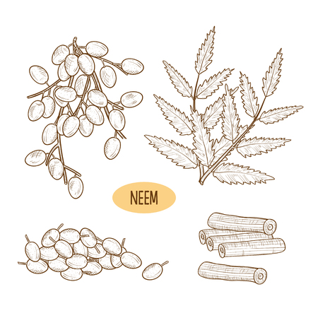 Neem Leaves, root and fruit Sketch.