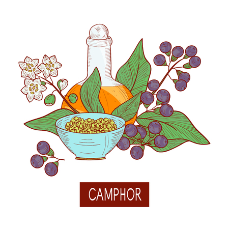 Camphor Plant  Leaves, fruit, flower  Oil  Bowl, bottle  Sketch   On a white background.