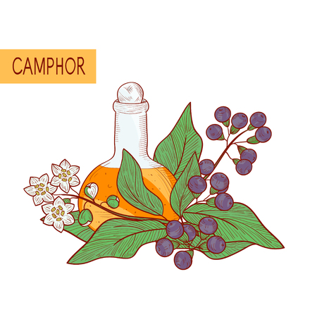 Camphor  Plant  Leaves, fruit, flower  Oil  Sketch On a white background.