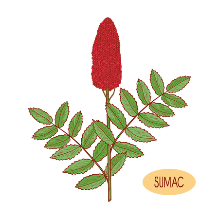 Sumac. Plant. Inflorescence, leaves. Sketch. On a white background.