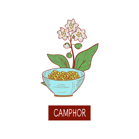 Camphor. Plant. Leaves, flower. Sketch. On a white background.
