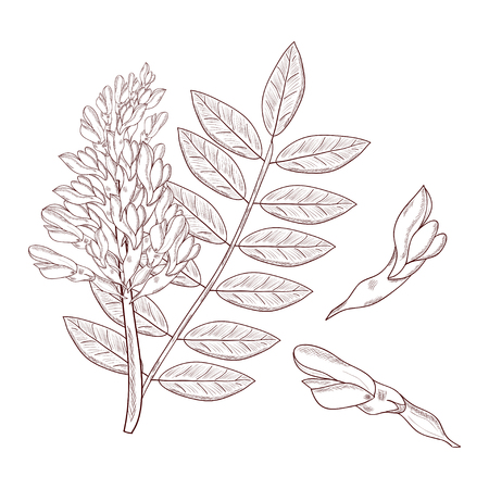 Licorice. Flower, leaves. Set. Sketch. On a white background. Monochrome Stock Photo