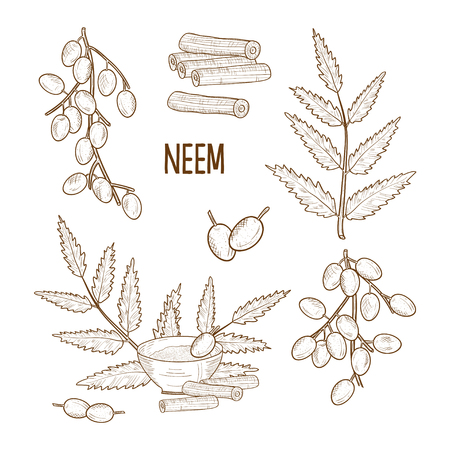 Neem. Leaves, fruit, root, bowl with powder. Sketch. Monochrome, set Stock Photo