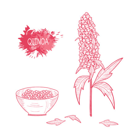 Quinoa. Plant. Plant branch and bowl. Set. Sketch. On a white background.