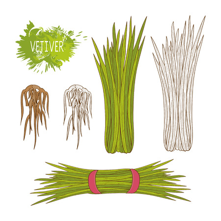 Vetiver. A plant and a root. Sketch. Set. A plant, a root. On a white background.