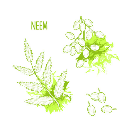 Neem, sketch. Branch with leaves and fruits. On a white background.