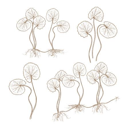 Gotu kola. Monochrome.  Plant. Leaves, stem, root. Set Illustration