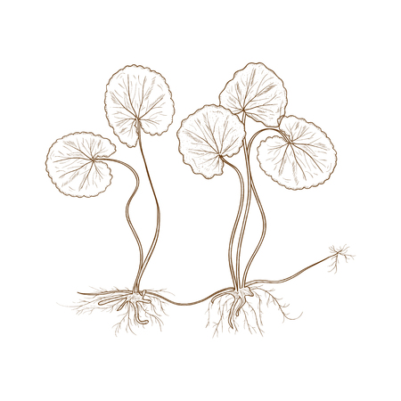 Gotu kola. Monochrome.  Plant. Leaves, stem, root. Illustration