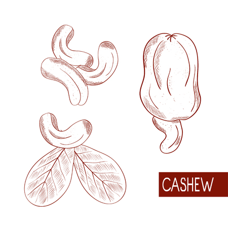Cashew. Fruit, nut, leaves. Sketch. Monochrome. On a white background.