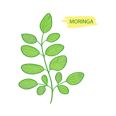 Moringa. Plant. Leaves. On a white background.