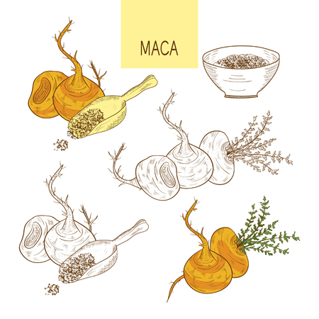 Maca. Tuber. Powder. Sketch. Set. Color and monochrome drawing.