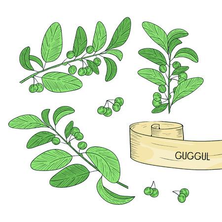 Guggul. Plant. Branch, leaves, fruit. Sketch. Color. Set Vektorové ilustrace