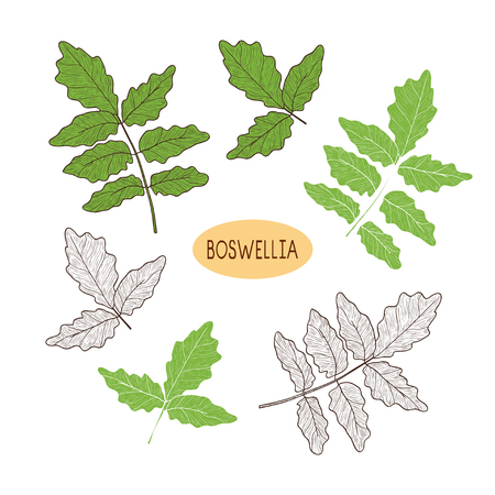 Boswellia. Plant. Branch, leaves. Sketch, silhouette. On white background, set. Vector Illustration