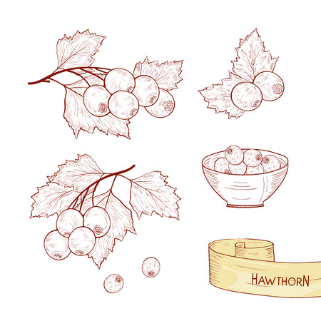 Hawthorn. Plant. Branch, berry, leaves. Sketch. Set. Monochrome